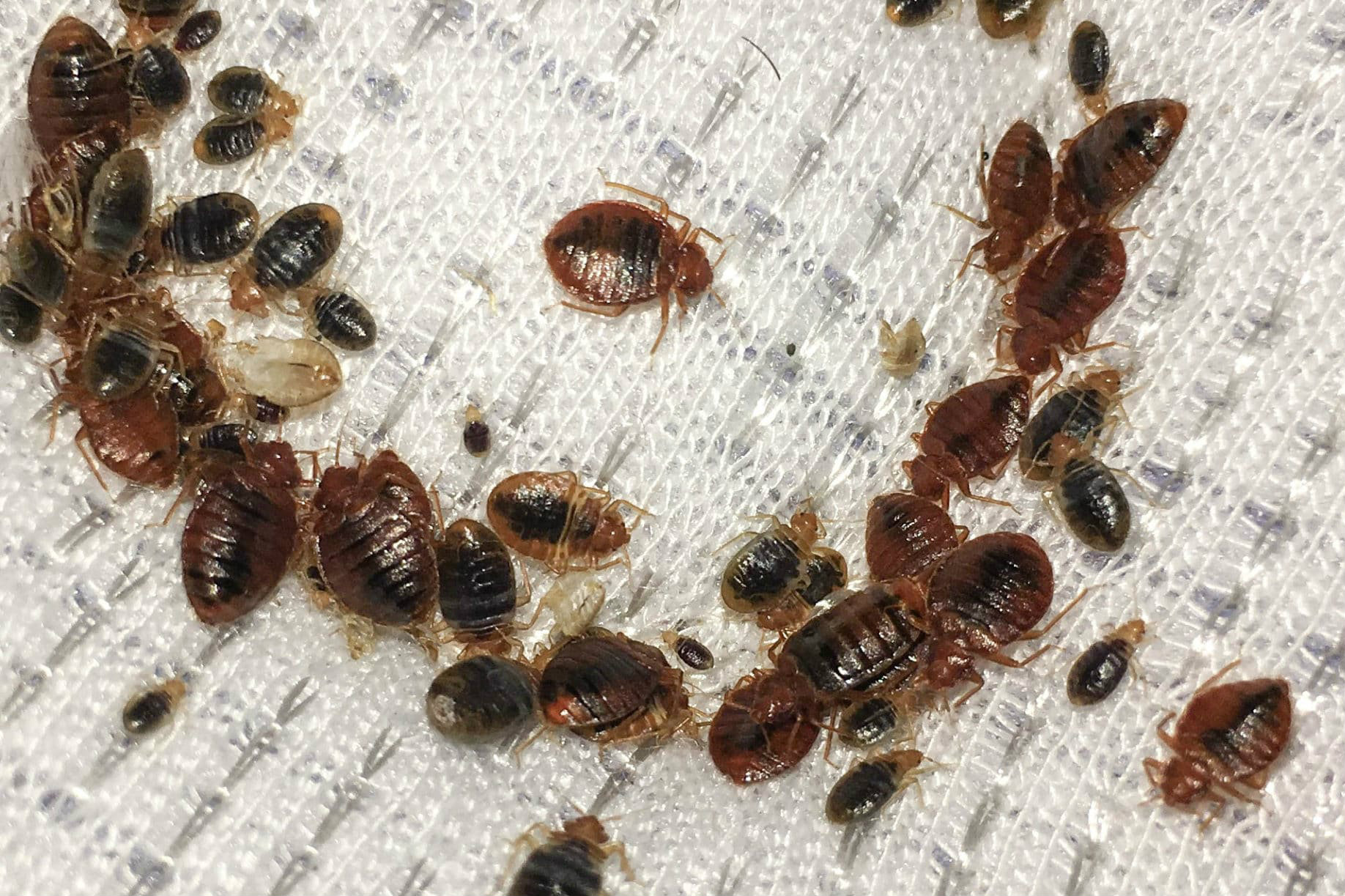 termidor for bed bugs